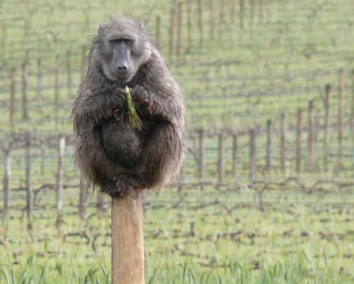 Groot Constantia committed to Baboon Management efforts